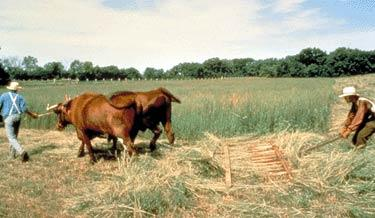 "A ""new"" flop-over hay rake, pulled by oxen, is used to rake hay."