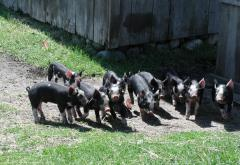 Piglets are born most every spring on the farm.