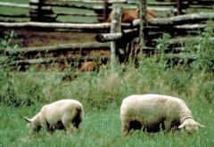 Oliver Kelley raised sheep on the farm in the 1850s and 1860s.