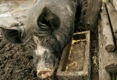 Pigs were important sources of meat and income for 19th century farmers.