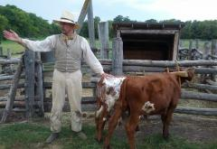 A young bull calf will become a draft ox when full-grown and trained.