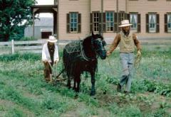 A horse and cultivator is guided through garden rows to dig out weeds.