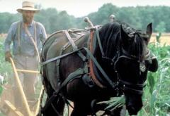 A Kelley Farm guide cultivates corn with up-to-date, horse drawn implements.