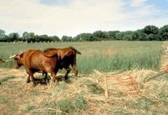 A &quot;new&quot; flop-over hay rake, pulled by oxen, is used to rake hay.