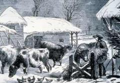 The animals feed on the harvest from fall as snow falls.